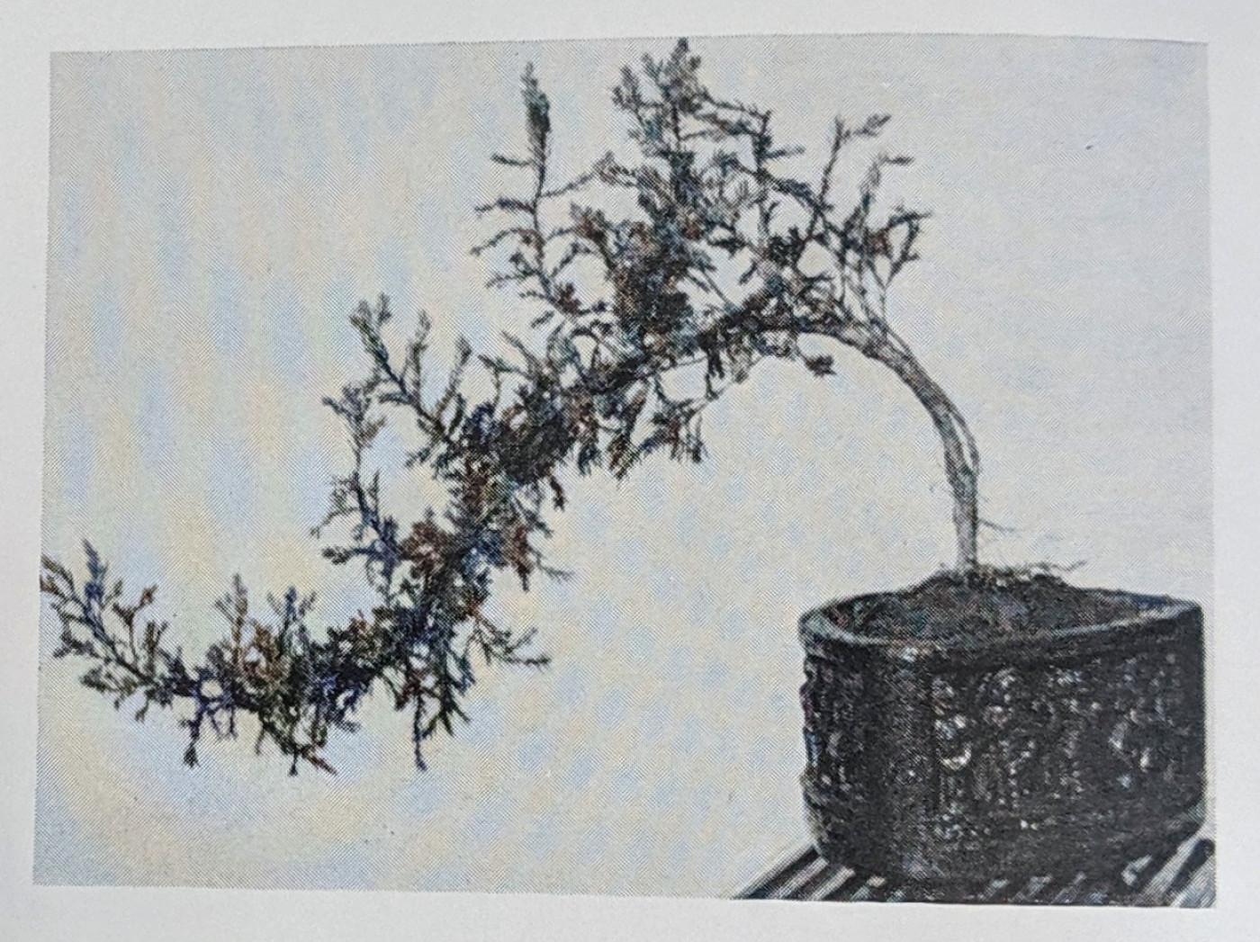 Bonsai plant belonging to Surveyor Mr Singh in Yamunanagar, India